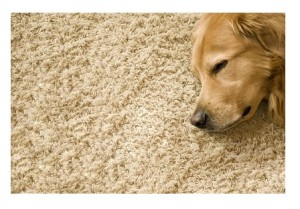 Dog-on-carpet