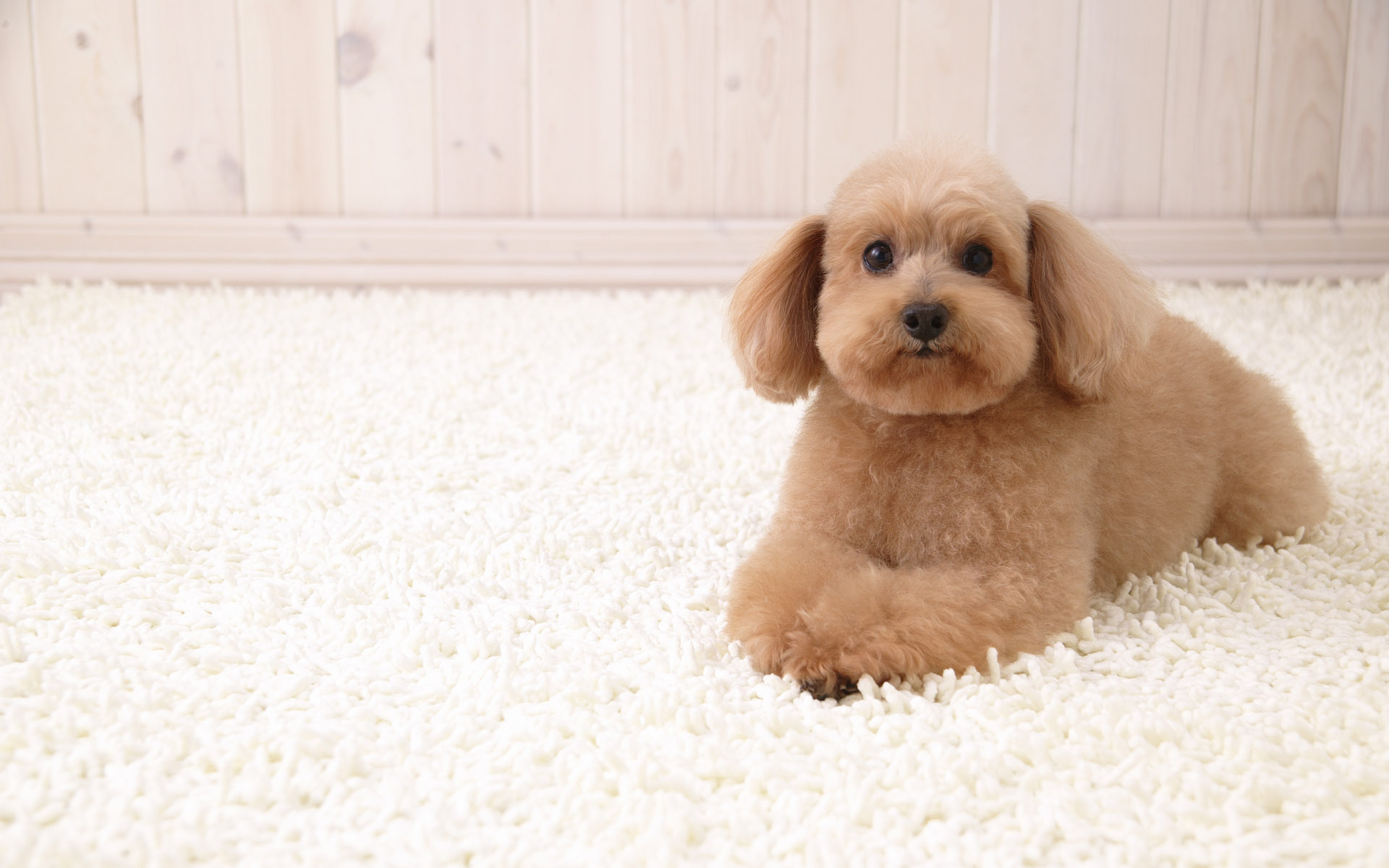 Unique Upholstery Carpet And Rug Cleaning Blog Archive Puppy On White Carpet 1366 768